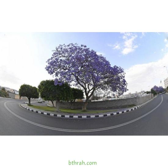 بذور  شجرة الجاكرندا Jacaranda mimosifolia