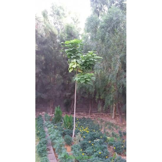 بذور  شجرة الكتالبا - Catalpa