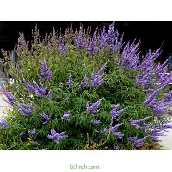 بذور شجرة كف مريم Vitex agnus-castus