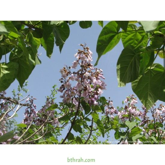 بذور شجرة الباولونيا-Paulownia tomentosa seeds
