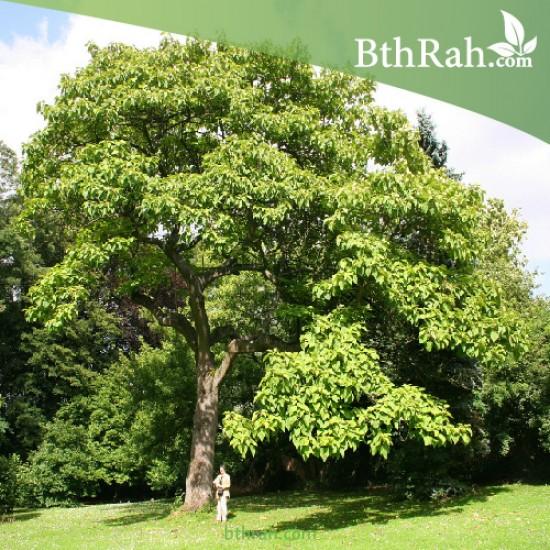 بذور شجرة الباولونيا  Paulownia tomentosa seeds