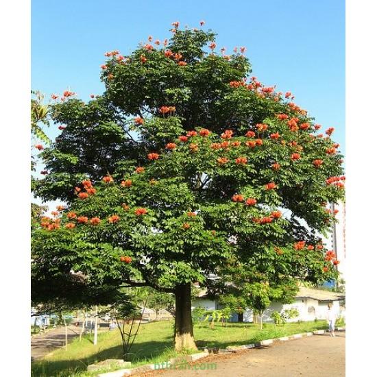 بذور شجرة الخزامى الأفريقية Spathodea campanulata