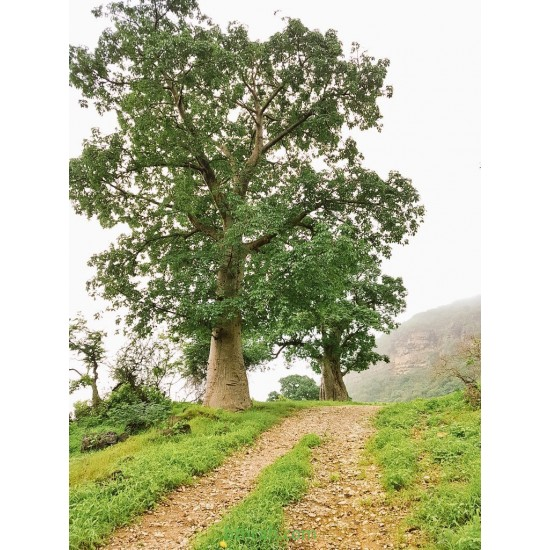 بذور شجرة التبلدي (الباوباب) Adansonia