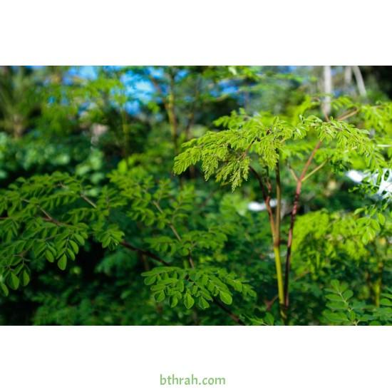 بذور شجرة المورينجا - moringa