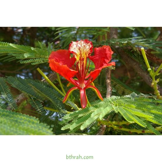 بذور شجرة البونسيانا الحمراء - Delonix regia