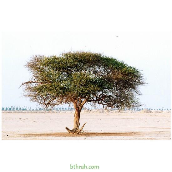 بذور شجرة السمر - Acacia tortilis