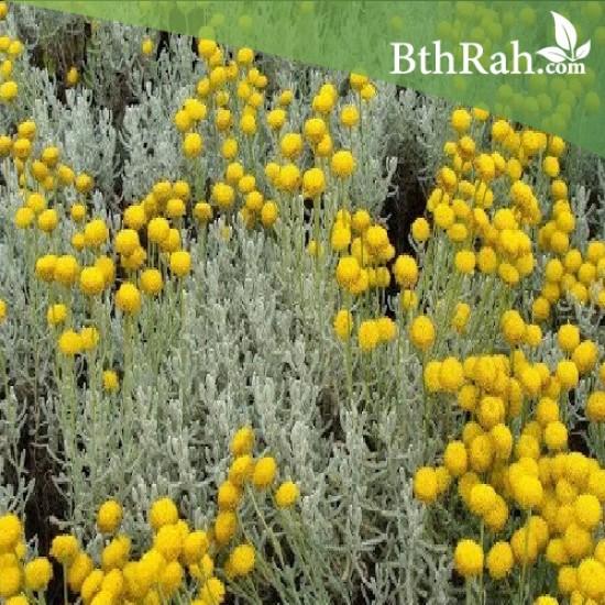 بذور عشبة القيصوم - Achillea fragrantissima