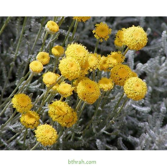 بذور شجرة السنط الملحي - Acacia nilotica subsp