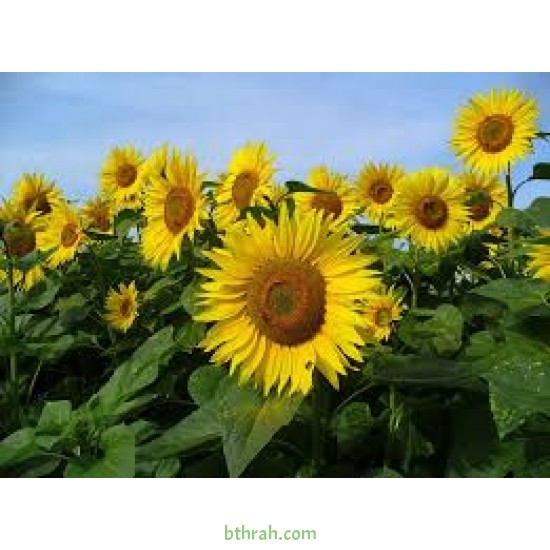 بذور دوّار الشمس (Helianthus annuus)