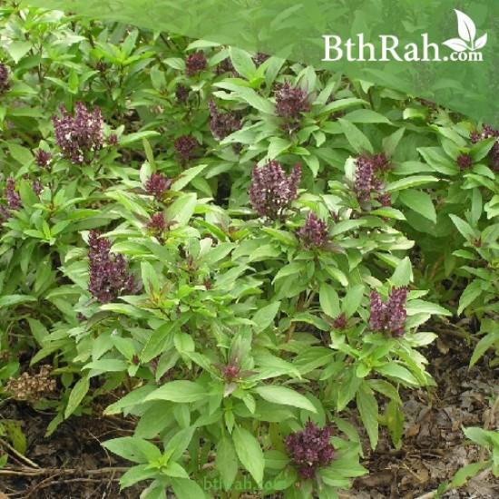 بذور عشبة الريحان - Ocimum basilicum