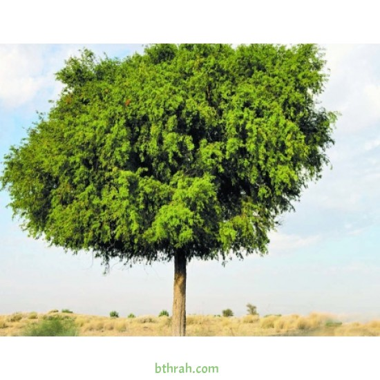 بذور شجرة  الغاف الخليجي ( Prosopis cineraria )