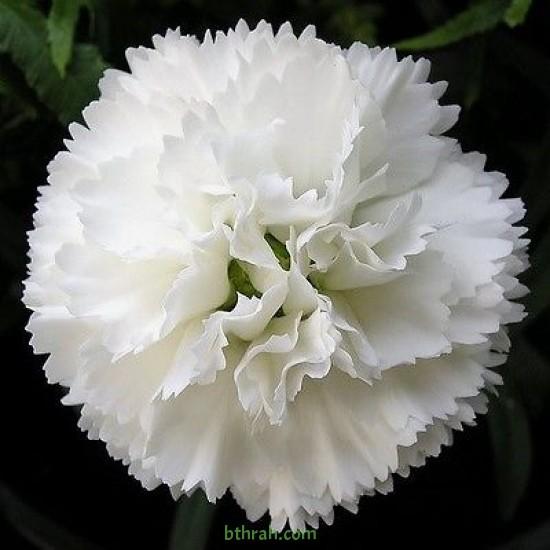 بذور زهور قرنفل جانيت (أبيض) (DIANTHUS CARPHYLLUS)
