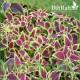 بذور زهرة السجّاد (Coleus Blumei)