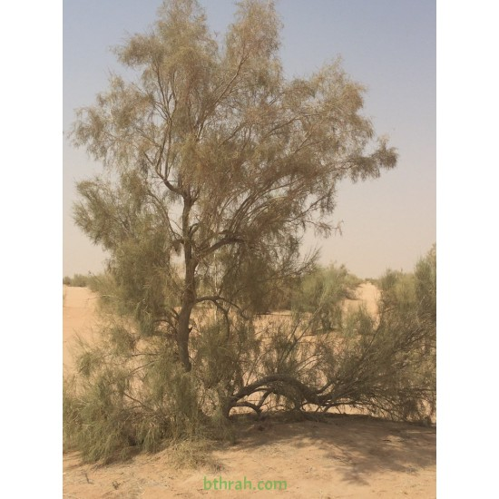 بذور شجر الغضى  Haloxylon persicum- الرمث الأسود