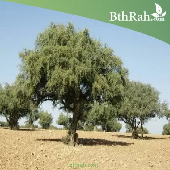بذور شجرة الأركان - Argania spinosa