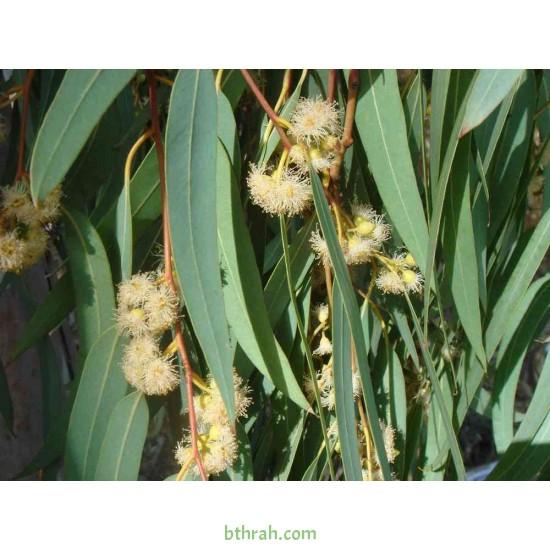 بذور شجر الكين (Eucalyptus)