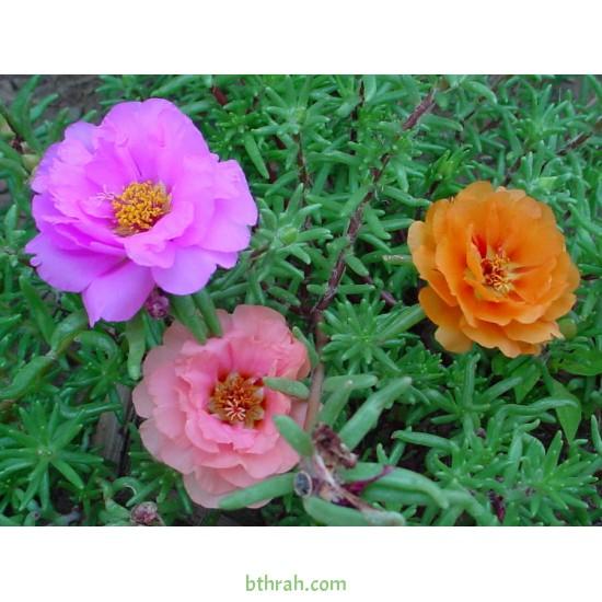 بذور زهور بورتولاكا ( رجلة الزهور )  portulaca grandiflora