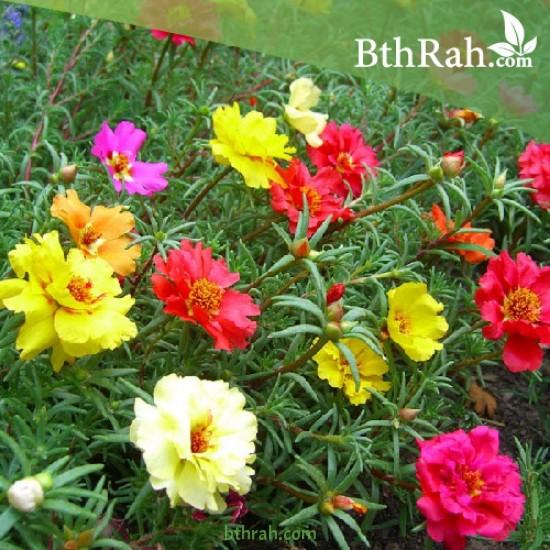 بورتولاكا (رجلة الزهور)  portulaca grandiflora