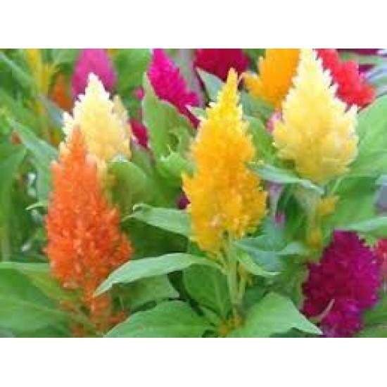 زهور عرف الديك مخلوط - Celosia Argenta