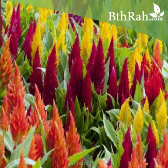 بذور زهور عرف الديك مخلوط - Celosia Argenta
