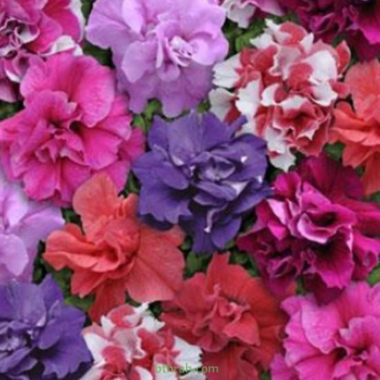 بذور زهور البتونيا (الوان متعددة) Petunia hybrida