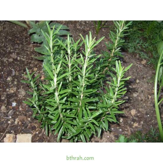 بذور عشبة اكليل الجبل (Rosmarinus officinalis)