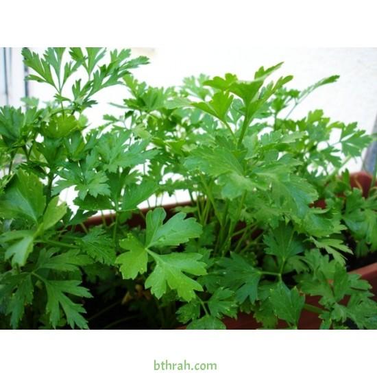 بذور البقدونس - Petroselinum crispum