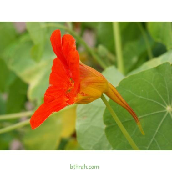 بذور زهرة ابو خنجر  ( tropaeolum majus )