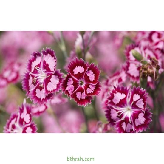 بذور زهور قرنفل صيني (Dianthus chinensis)
