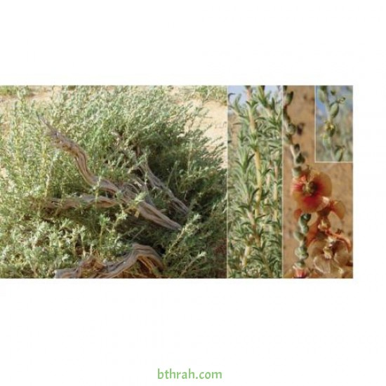بذور الروثة الرعوية  Salsola villosa