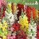 بذور زهور فم السمكة(Antirrhinum Majus)