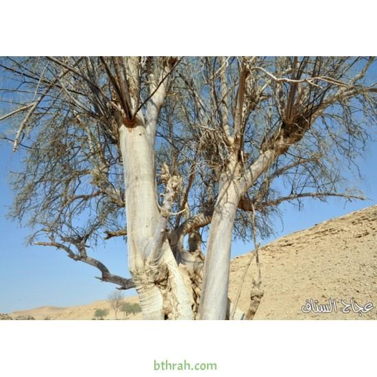بذور اليسر  او البان العربي او المورينقا العربي (Moringa)