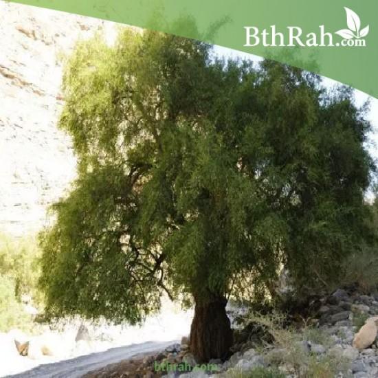 بذور شجرة السدر البلدي (النبق) Ziziphus spina-christi