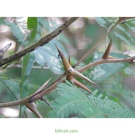 بذور شجرة السيال-Acacia johnwoodii