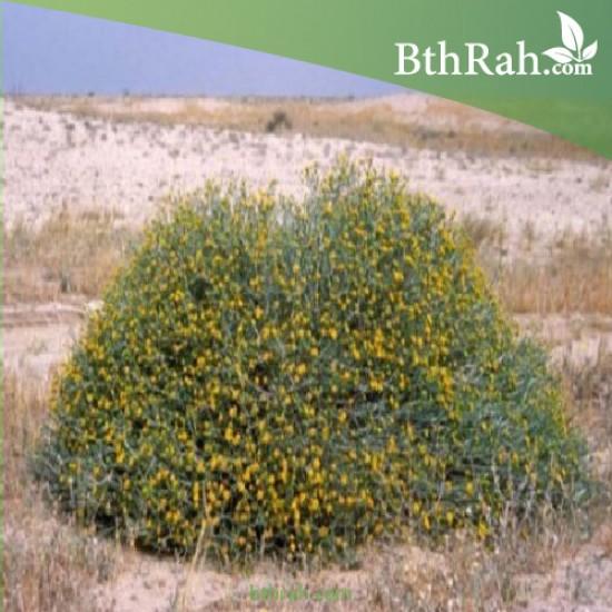 بذور نبات العرفج - Rhanterium epapposum