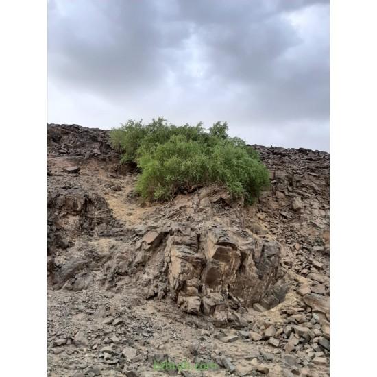 بذور شجرة الاراك - Salvadora Persica