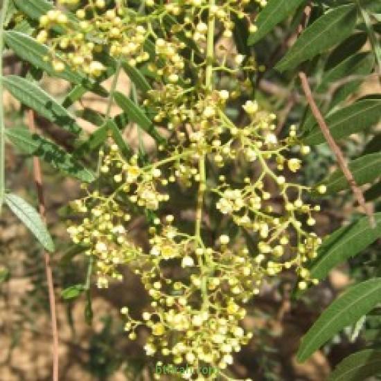 بذور شجرة الفلفل البيروفي -رفيع الأوراق - Schinus molle