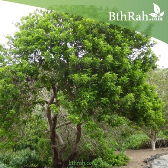 بذور شجرة الفلفل - عريض الأوراق -Schinus terebinthifolius