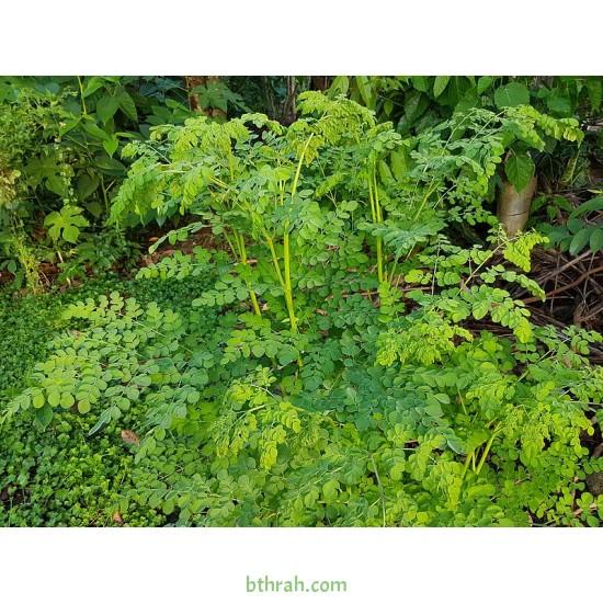 بذور المورينقا الهجين (moringa)