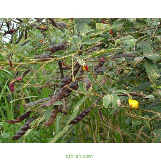 بذور اللوبيا العدسية (رعوية) Begun pea
