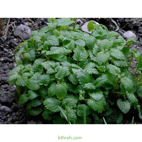 40 بذرة من بذور الملِّيسا - Melissa officinalis