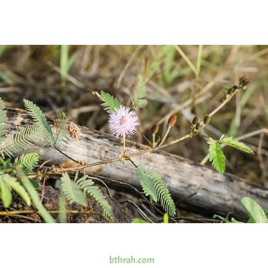 بذور النبتة الخجولة أو المستحية - Mimosa Pudica