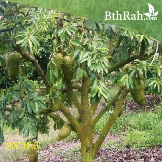 بذور شجرة القشطة - Annona
