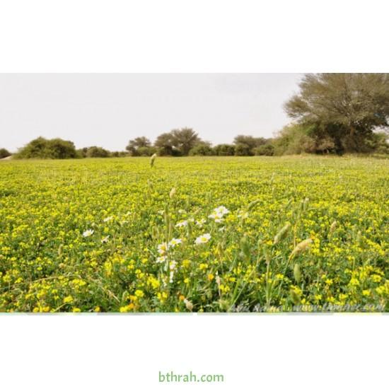 بذور عشبة النفل - Trifolium
