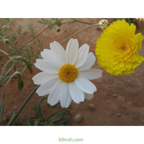 بذور عشبة القحويان  Anthemis deserti