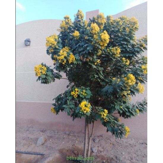 بذور شجرة كاسيا جلوكا - Cassia glauca