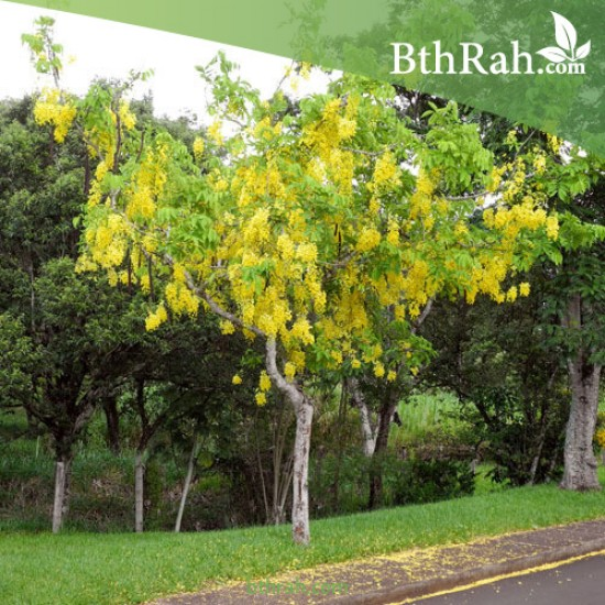 بذور شجرة كاسيا فستيولا (خيار شمبر) Cassia fistula