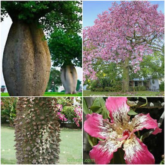 بذور شجرة الكوريزيا Chorisia speciosa