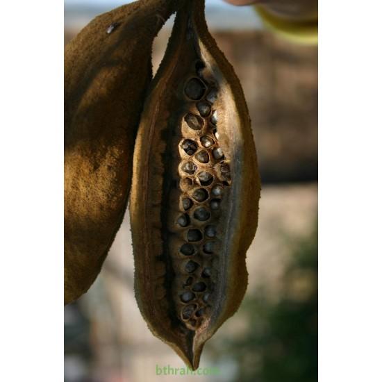 بذور شجرة استركوليا لوريدا - Brachychiton discolor