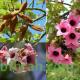 بذور شجرة استركوليا - Brachychiton discolor